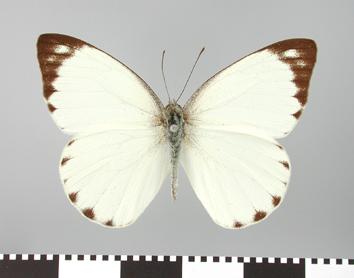 Glutophrissa epaphia (Cramer, 1779)