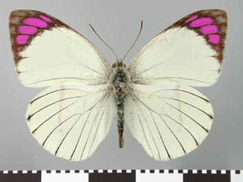 Colotis ione (Godart, 1819)