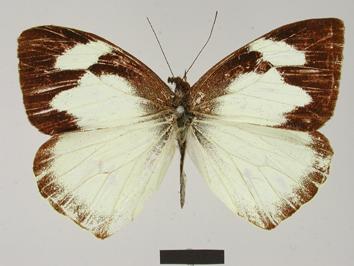 Leptophobia nephthis (Hopffer, 1874)