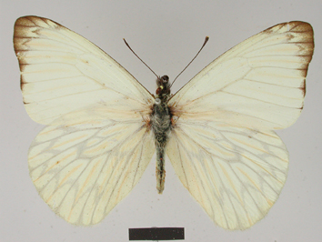 Hesperocharis nereina Hopffer, 1874