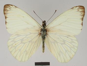 Hesperocharis nereina Hopffer, 1874