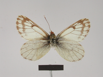 Pierphulia nysias (Weymer, 1890)