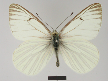 Tatochila orthodice (Weymer, 1890)