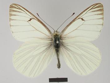 Tatochila orthodice (Weymer, 1890)