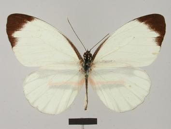 Perrhybris pamela (Stoll, 1780)