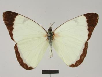 Melete calymnia (Felder and Felder, 1862)