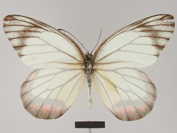 Delias hyparete (Linnaeus, 1758)