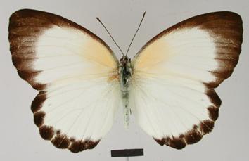 Belenois theuszi (Dewitz, 1889)
