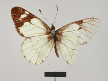 Catasticta pieris (Hopffer, 1874)