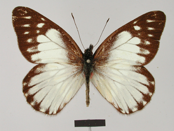 Catasticta prioneris (Hopffer, 1874)