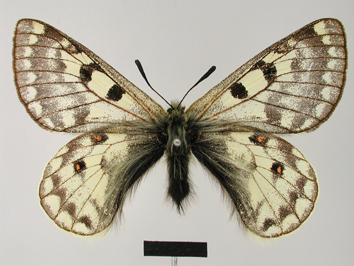 Parnassius simonius Staudinger, 1889