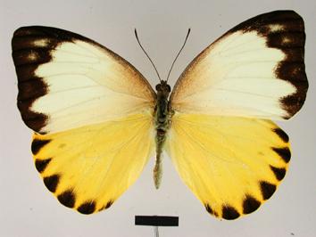 Nepheronia thalassina (Boisduval, 1836)
