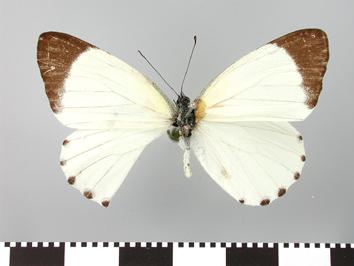 Mylothris rhodope (Fabricius, 1775)