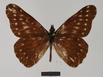 Catasticta suadela (Hopffer, 1874)