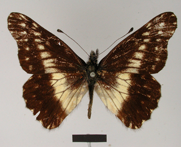 Catasticta susiana (Hopffer, 1874)