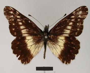Catasticta susiana (Hopffer, 1874)