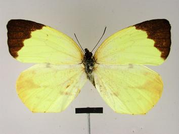 Eurema xantochlora (Kollar, 1850)