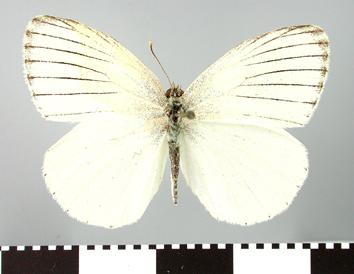 Colotis venosa (Staudinger, 1885)