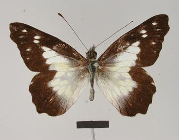 Leodonta zenobina (Hopffer, 1869)