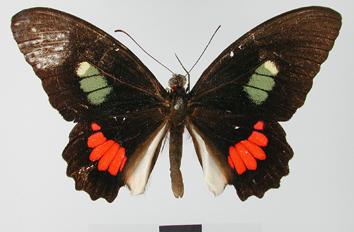 Parides iphidamas (Fabricius, 1793)