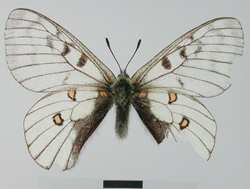 Parnassius bremeri Bremer, 1864