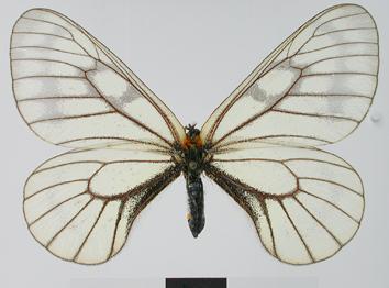 Parnassius glacialis Butler, 1866