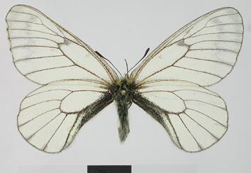 Parnassius stubbendorfii Ménétriés, 1849