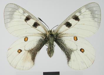 Parnassius nordmanni Ménétriés, 1850