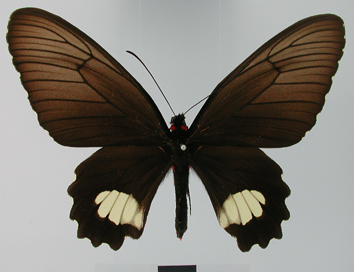 Parides cutorina (Staudinger, 1898)