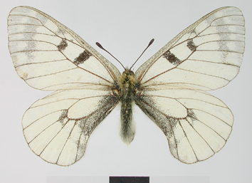 Parnassius mnemosyne (Linnaeus, 1758)