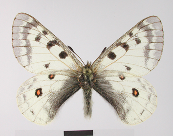 Parnassius phoebus (Fabricius, 1793)