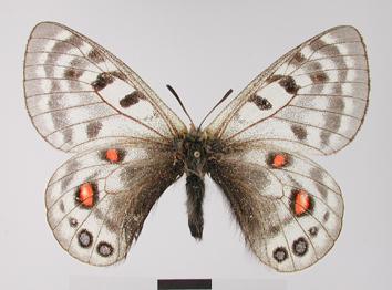 Parnassius cephalus Grum-Grshimailo, 1891