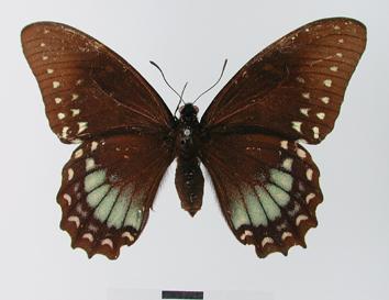 Papilio menatius Hübner, 1819