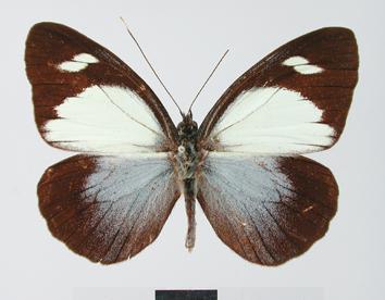 Leptophobia cinerea (Hewitson, 1867)
