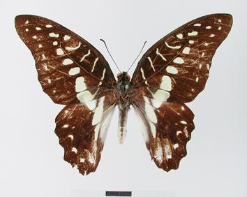 Graphium meyeri (Hopffer, 1874)