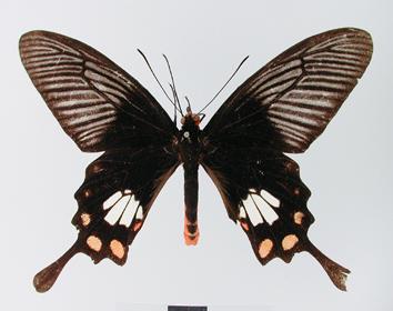 Pachliopta leytensis Murayama, 1978