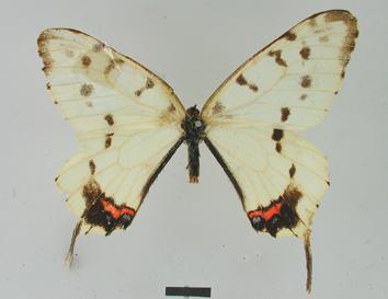 Sericinus montela Gray, 1852