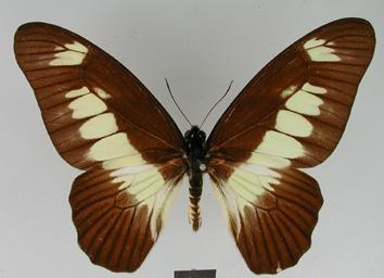 Graphium ucalegon (Hewitson, 1865)