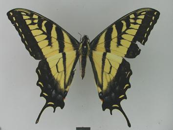 Papilio glaucus Linnaeus, 1758