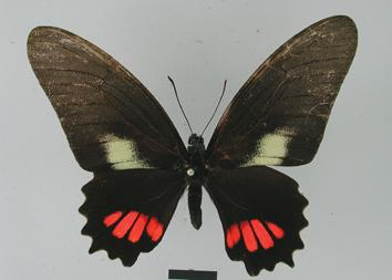 Mimoides ariarathes (Esper, 1788)