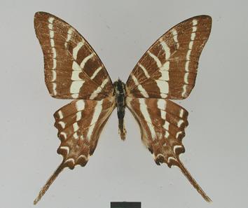 Graphium aristeus (Stoll, 1780)