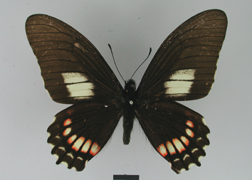 Mimoides xeniades (Hewitson, 1867)