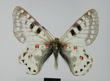 Parnassius acco Gray, 1853