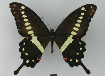 Papilio lormieri Distant, 1874