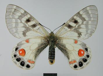 Parnassius charltonius Gray, 1853