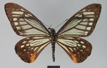Chilasa agestor (Gray, 1831)