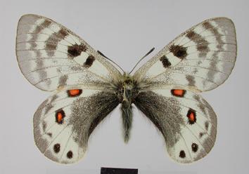 Parnassius delphius (Eversmann, 1843)