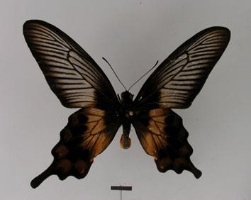 Pachliopta liris (Godart, 1819)