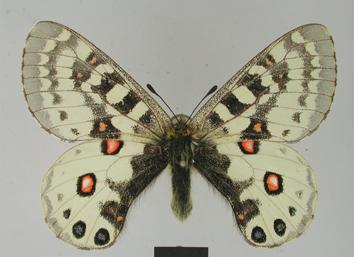 Parnassius orleans Oberthür, 1890