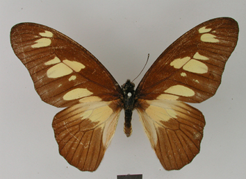 Graphium fulleri (Grose-Smith, 1883)